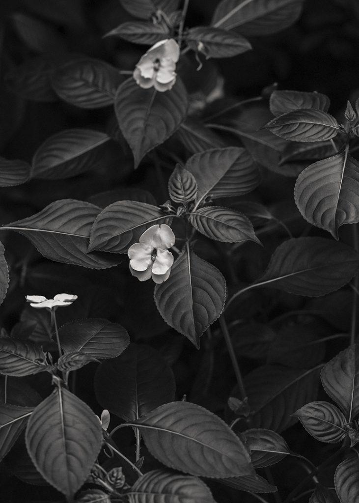 Flores Ephemeri 17131