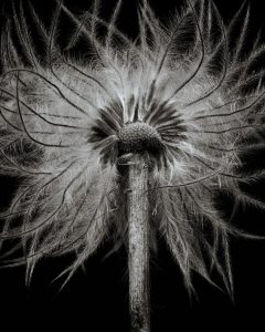 Flores Ephemeri 18005