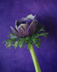 Flores Ephemeri 18011