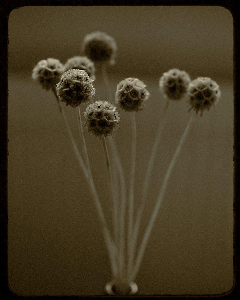Flores Ephemeri 18017