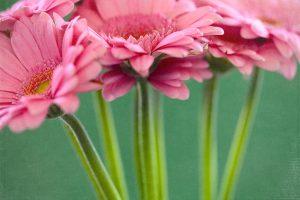 Pink Gerberas