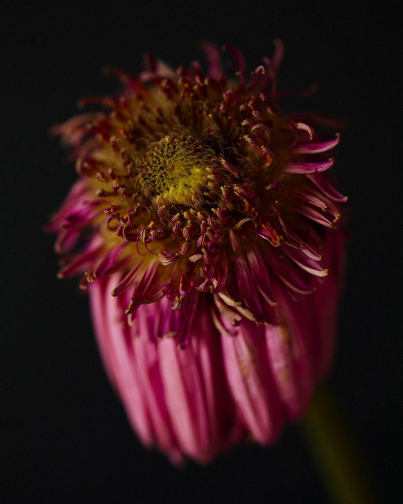 Flores Ephemeri 18032