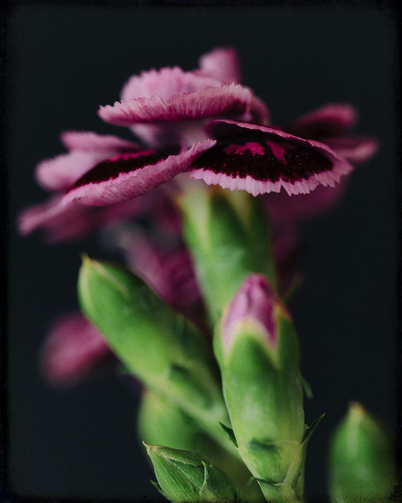 Flores Ephemeri 18033