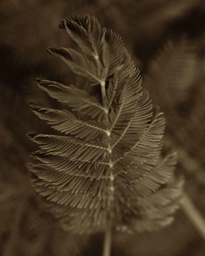 Flores Ephemeri 18038