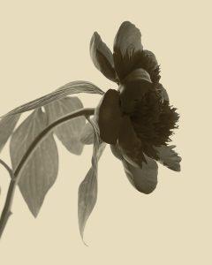 Flores Ephemeri 18043