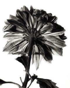 Flores Ephemeri 18041
