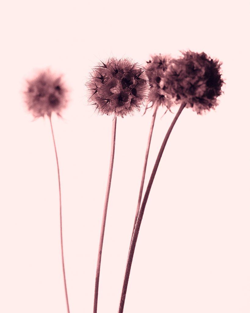 Flores Ephemeri 18042
