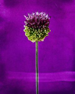 Flores Ephemeri 18049
