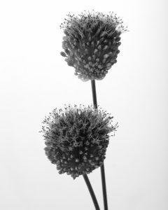 Flores Ephemeri 18052