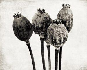 Flores Ephemeri 18056
