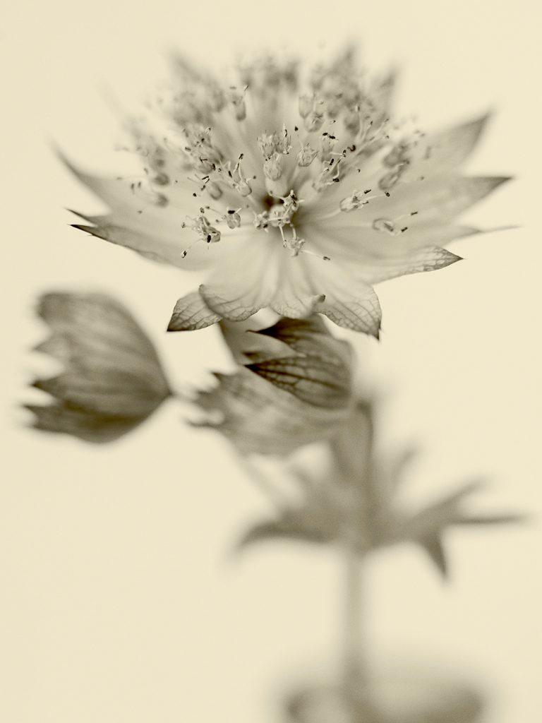 Flores Ephemeri 18064