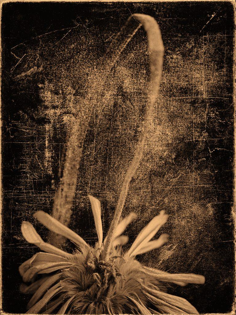 Flores Ephemeri 18066