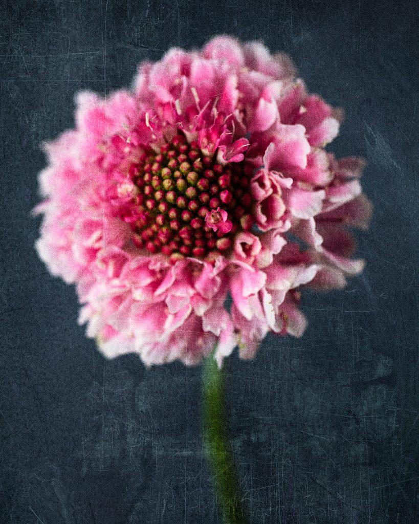 Flores Ephemeri 18067